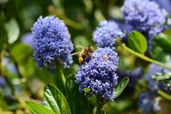 Abeja que recoge el polen de un ceanothus Fotografía de archivo