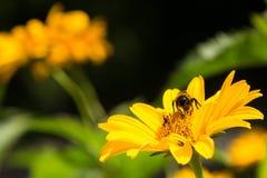 Abeja que recoge el polen de una flor amarilla en verano Foto de archivo