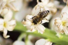 Abeja que recoge el polen de una flor blanca Foto de archivo