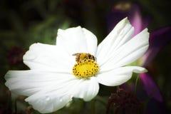 Abeja que recoge el polen de una flor blanca en el prado Espacio macro y vacío de la copia Imágenes de archivo libres de regalías