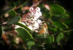 Abeja que recoge el polen de una flor blanca de Manzanita de alta calidad Fotografía de archivo