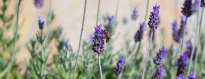 Abeja que recoge el polen de una flor de la lavanda Imágenes de archivo libres de regalías