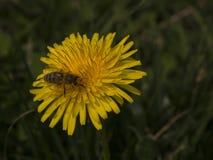 Abeja que recoge el polen de una flor del diente de león Imagen de archivo libre de regalías