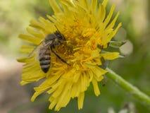 Abeja que recoge el polen de una flor del diente de león Imágenes de archivo libres de regalías