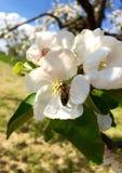 Abeja que recoge el polen de una flor del manzano Fotografía de archivo libre de regalías