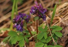 Abeja que recoge el polen de wildflower púrpura Imagen de archivo libre de regalías