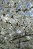 Abeja que recoge el polen del flor del ciruelo Fotos de archivo libres de regalías