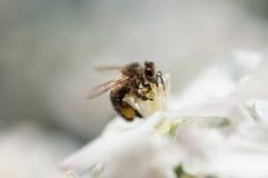 Abeja que recoge el polen del flor de la manzana Imagen de archivo libre de regalías