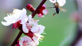 Abeja que recoge el polen del flor del albaricoque Fotografía de archivo
