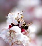 Abeja que recoge el polen del flor del albaricoque Imagen de archivo libre de regalías