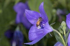 Abeja que recoge el polen dentro de una flor Foto de archivo