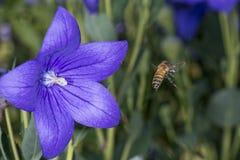 Abeja que recoge el polen dentro de una flor Foto de archivo libre de regalías