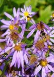 Abeja que recoge el polen en aster alpino Fotografía de archivo
