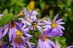 Abeja que recoge el polen en aster alpino Imagenes de archivo