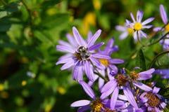 Abeja que recoge el polen en aster alpino Imagen de archivo