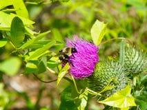 Abeja que recoge el polen en el cardo de Bull Fotografía de archivo