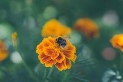 Abeja que recoge el polen en el clavel en el prado Fotografía de archivo