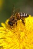 Abeja que recoge el polen en el diente de león amarillo. macro. Imagen de archivo libre de regalías