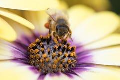 Abeja que recoge el polen en flores coloridas Foto de archivo libre de regalías