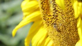 Abeja que recoge el polen en el girasol almacen de video