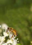 Abeja que recoge el polen en la flor blanca con la foto verde borrosa del fondo Fotos de archivo