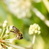 Abeja que recoge el polen en la flor blanca con la foto verde borrosa del fondo Fotografía de archivo libre de regalías