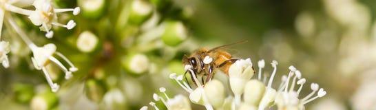 Abeja que recoge el polen en la flor blanca con la foto verde borrosa del fondo Foto de archivo