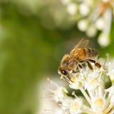 Abeja que recoge el polen en la flor blanca con la foto verde borrosa del fondo Imágenes de archivo libres de regalías