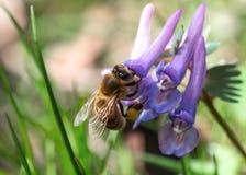 Abeja que recoge el polen en la flor de la lila Fotos de archivo libres de regalías