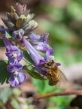 Abeja que recoge el polen en la flor de la lila Imagen de archivo libre de regalías