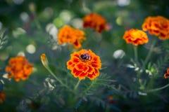 Abeja que recoge el polen en la flor del clavel en el prado Foto de archivo