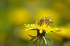 Abeja que recoge el polen en la flor del dendelion Foto de archivo