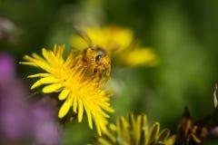 Abeja que recoge el polen en la flor del dendelion Imagenes de archivo