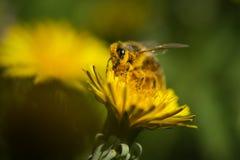 Abeja que recoge el polen en la flor del dendelion Fotografía de archivo
