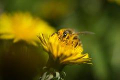 Abeja que recoge el polen en la flor del dendelion Imágenes de archivo libres de regalías