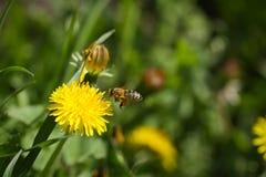 Abeja que recoge el polen en la flor del dendelion Fotos de archivo