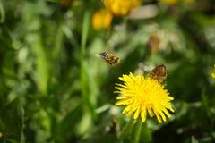 Abeja que recoge el polen en la flor del dendelion Imagen de archivo