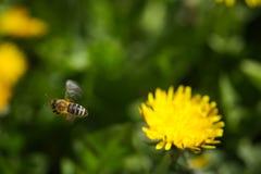 Abeja que recoge el polen en la flor del dendelion foto de archivo libre de regalías