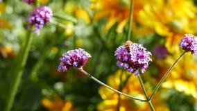 Abeja que recoge el polen en la flor púrpura almacen de metraje de vídeo