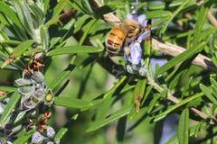 Abeja que recoge el polen en la flor púrpura de una planta del romero Fotos de archivo