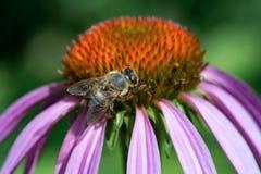 Abeja que recoge el polen en la flor púrpura del echinacea Primer Fotos de archivo libres de regalías