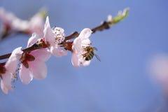 Abeja que recoge el polen en la flor rosada Fotografía de archivo