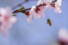 Abeja que recoge el polen en la flor rosada Fotos de archivo libres de regalías