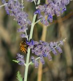 Abeja que recoge el polen en la planta sabia de la lavanda durante un día de verano Fotos de archivo