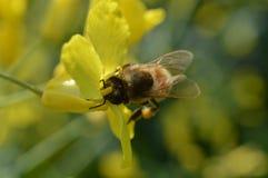 Abeja que recoge el polen en las piernas en cesta del polen Fotos de archivo libres de regalías