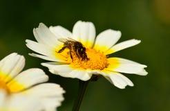 Abeja que recoge el polen en margarita Fotos de archivo