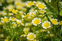 Abeja que recoge el polen en primavera Imágenes de archivo libres de regalías