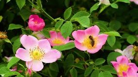Abeja que recoge el polen en primavera completa almacen de video