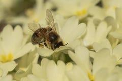 Abeja que recoge el polen en primerose Imagen de archivo libre de regalías