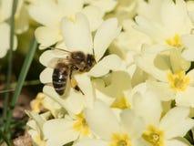 Abeja que recoge el polen en primerose Imagenes de archivo